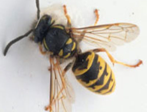 What's The Difference Between a Bee Sting and a Wasp Sting?